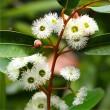 Jarrah flower 1