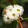 Jarrah flower 16