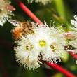 Jarrah flower 3