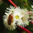 Jarrah flower 5
